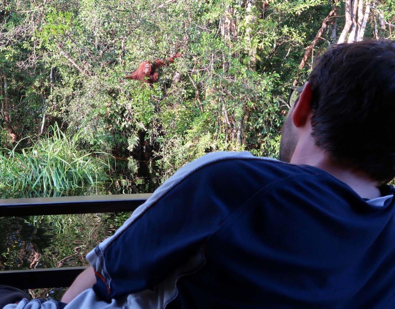 Wilder Orang Utan diekt vor uns in den Bäumen